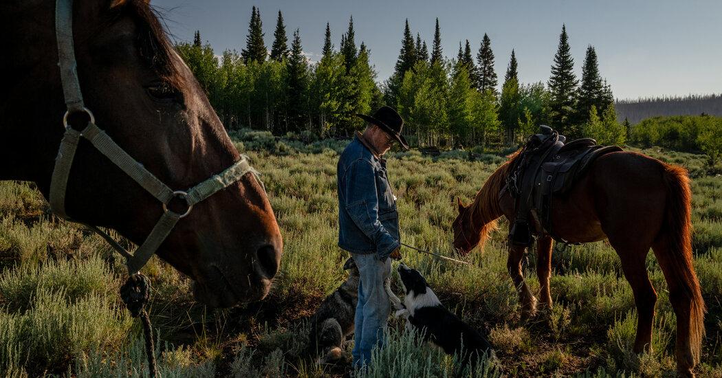 Utah Farm Draws a Rare Breed: The American Shepherd