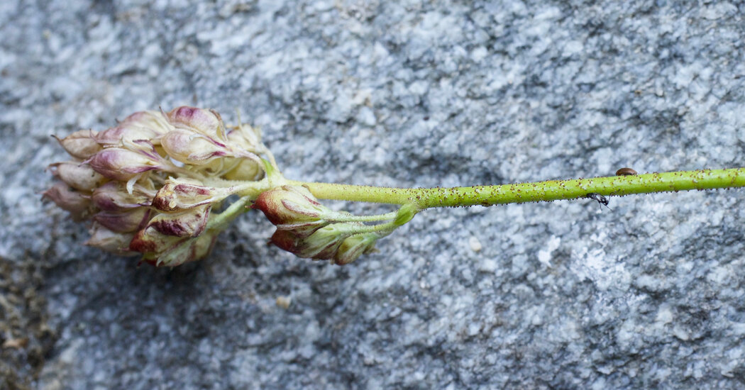 This Flower Hides a Secret: It's Actually a Carnivore