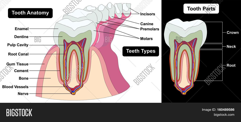 hight resolution of human tooth cross section anatomy enamel dentine pulp cavity gum tissue bone nerve blood vessels cement