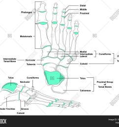 human foot bones anatomy diagram in anatomical position front and lateral view with all bone names [ 1500 x 1313 Pixel ]
