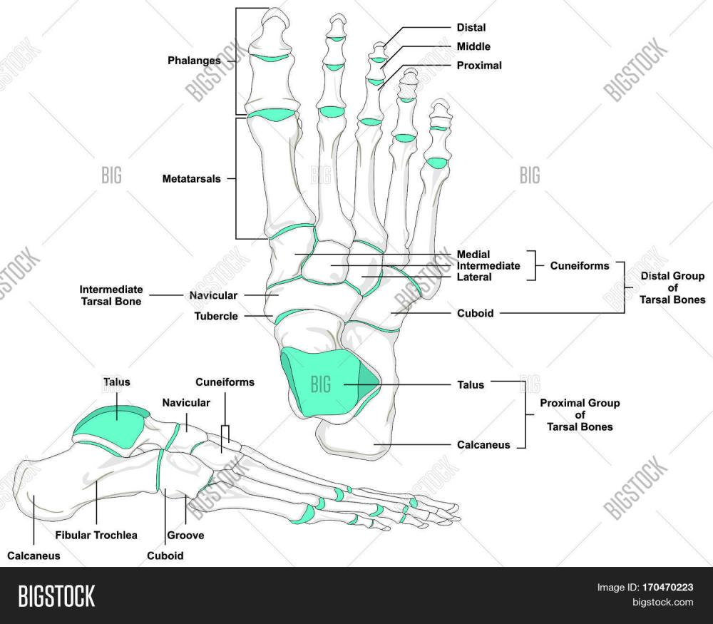 medium resolution of human foot bones anatomy diagram in anatomical position front and lateral view with all bone names