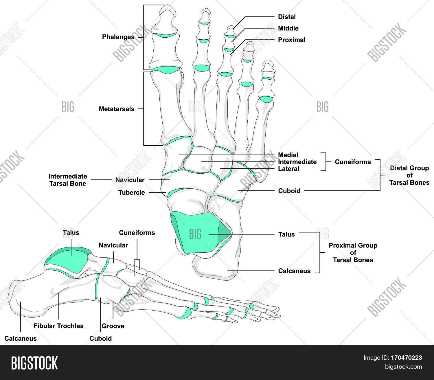 hight resolution of human foot bones anatomy diagram in anatomical position front and lateral view with all bone names