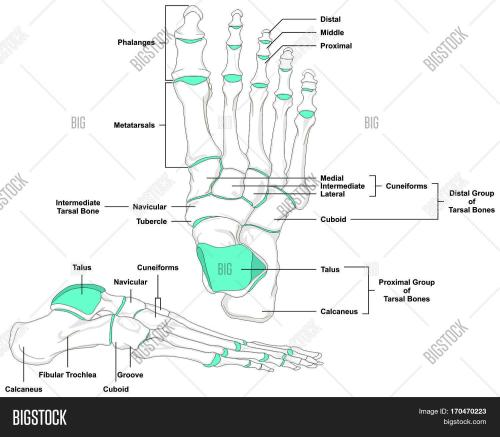 small resolution of human foot bones anatomy diagram in anatomical position front and lateral view with all bone names
