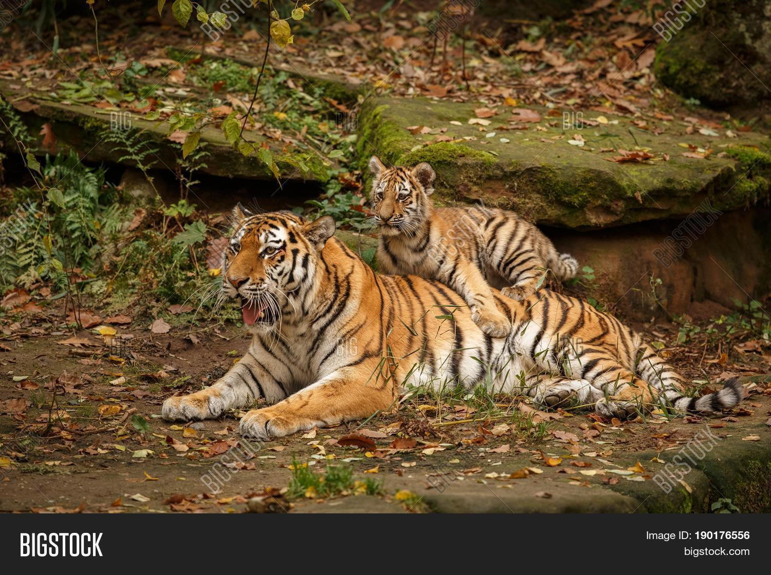 Young Tiger Female Image Amp Photo Free Trial