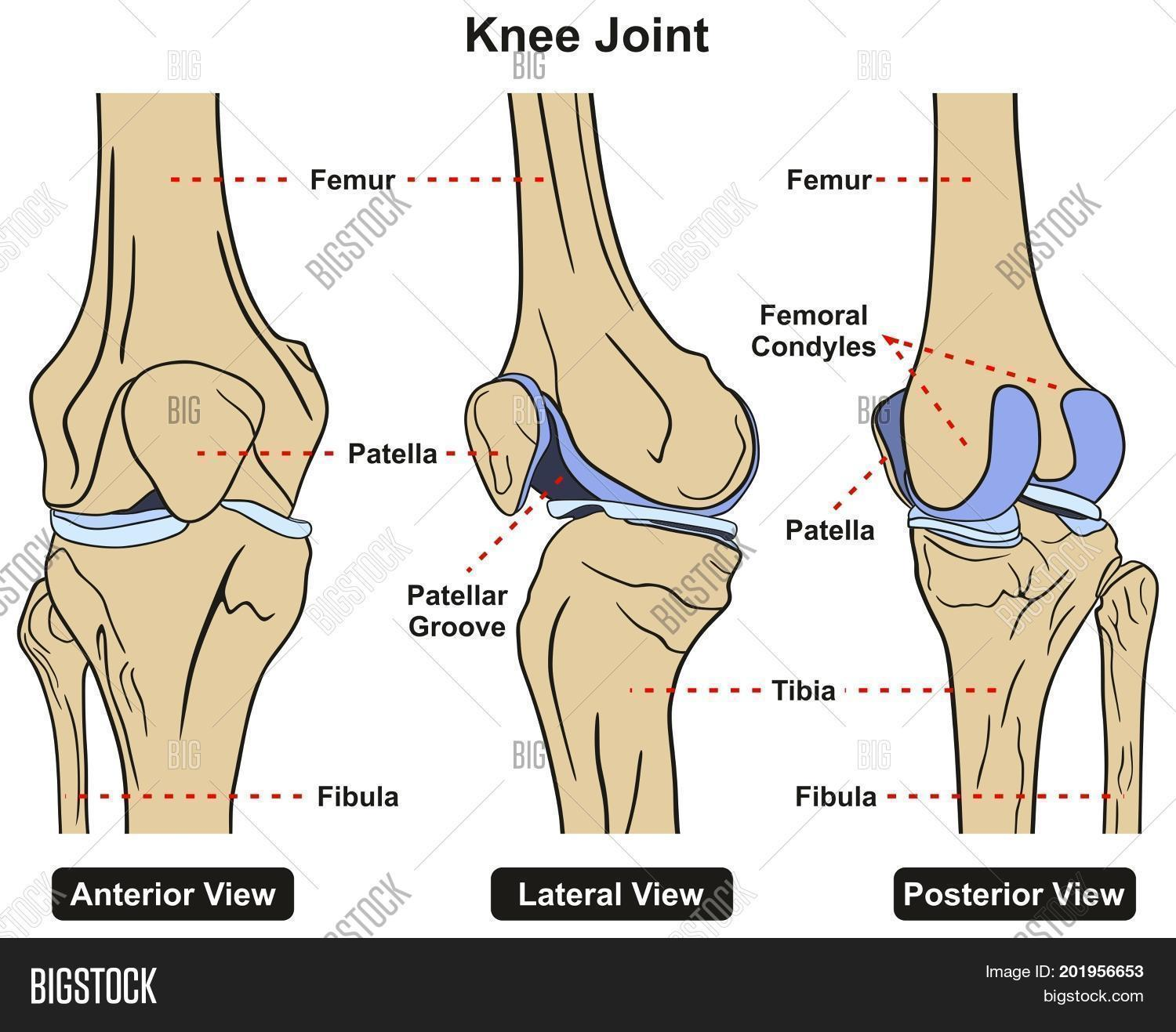 hight resolution of knee joint of human body anatomy infographic diagram including anterior lateral and posterior view with all