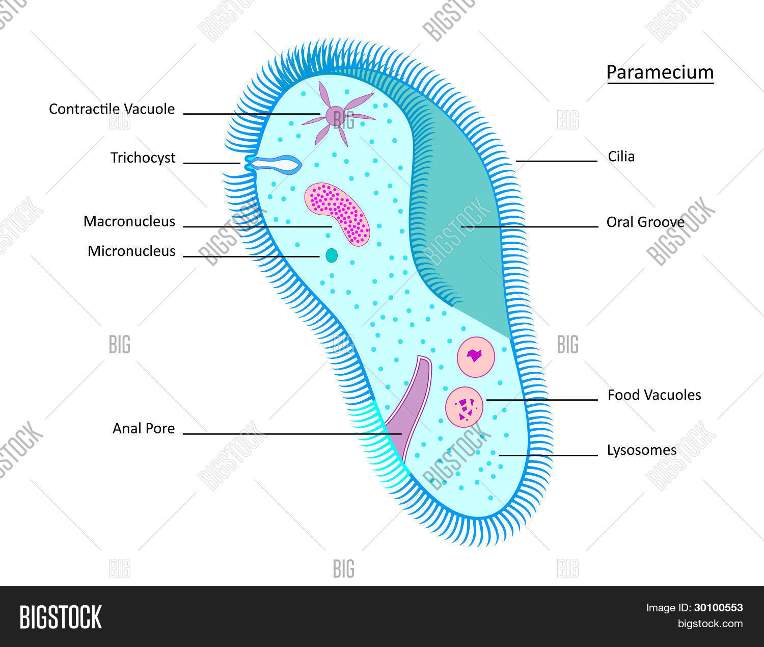 hight resolution of close image preview image preview paramecium