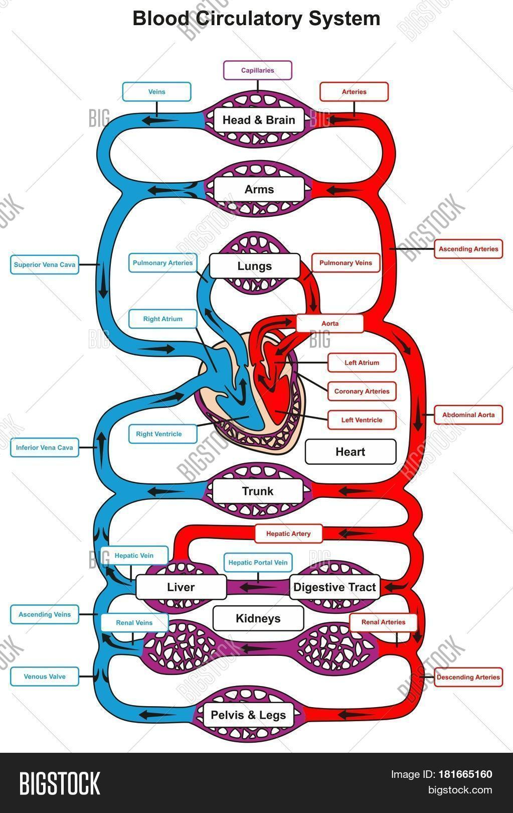 hight resolution of blood circulatory system of human body infographic diagram with heart pumping to all other organs and