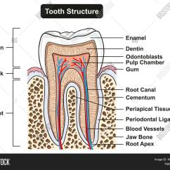 Diagram For 5 Gum 2004 Jeep Wrangler Tj Wiring Tooth Cross Section Image And Photo Free Trial Bigstock