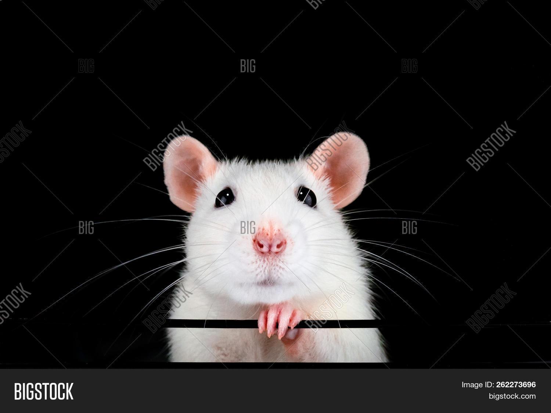 Cute White Pet Rat Image & Photo (Free Trial) | Bigstock