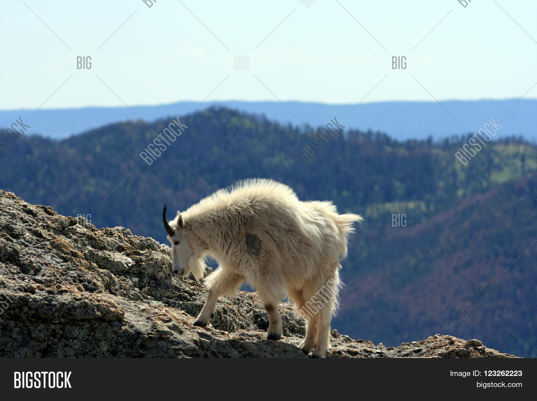 Mountain Goat On Image & Photo (Free Trial) | Bigstock