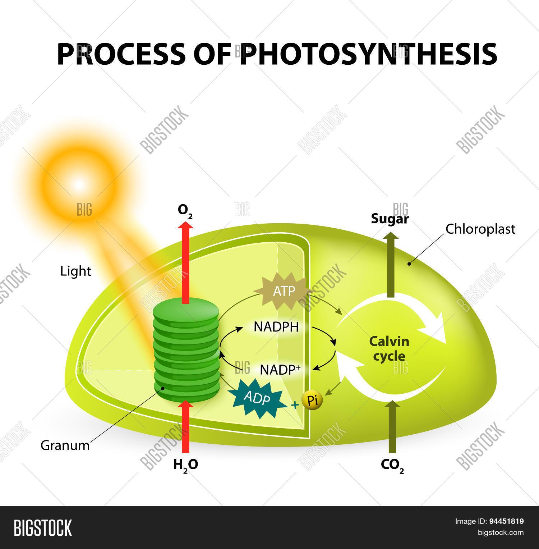 Chloroplast Diagram Calvin Cycle