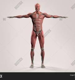 human anatomy showing front full male body head shoulders and torso bone structure [ 1500 x 1245 Pixel ]
