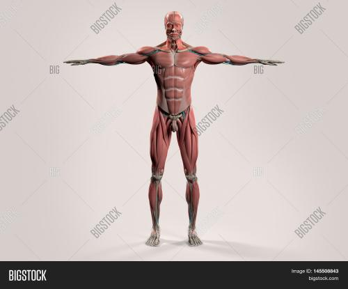 small resolution of human anatomy showing front full male body head shoulders and torso bone structure