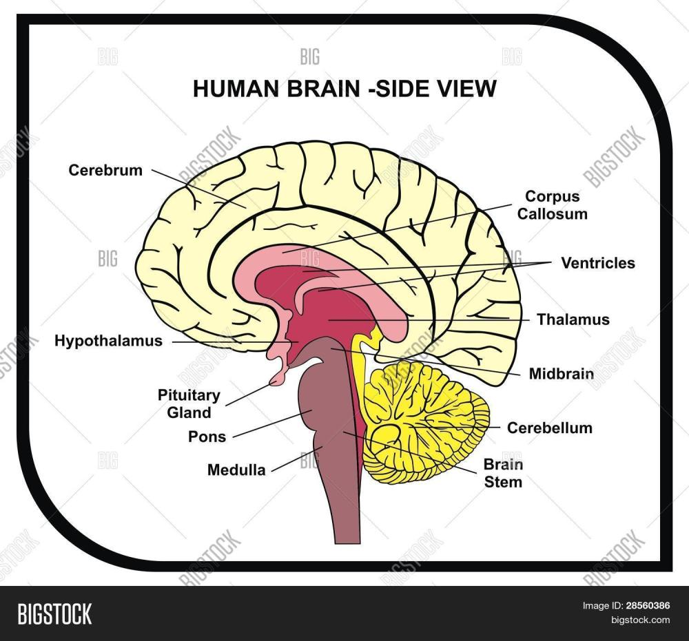 medium resolution of human brain diagram side view with parts cerebrum hypothalamus thalamus pituitary