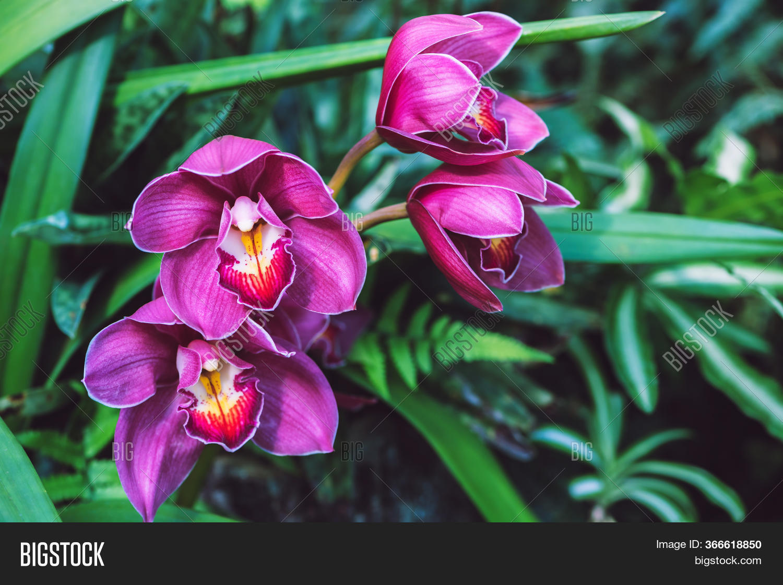Cymbidium Orchid Pink Image & Photo (Free Trial)   Bigstock