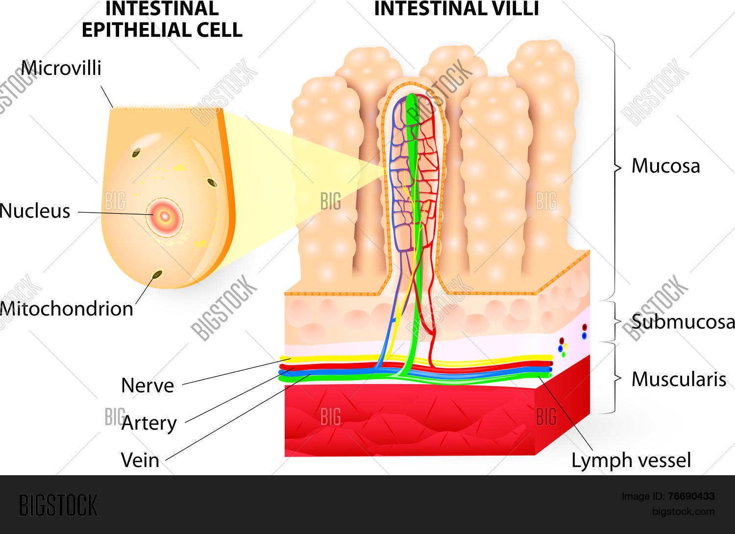 hight resolution of microvilli detail of the small intestine vector diagram