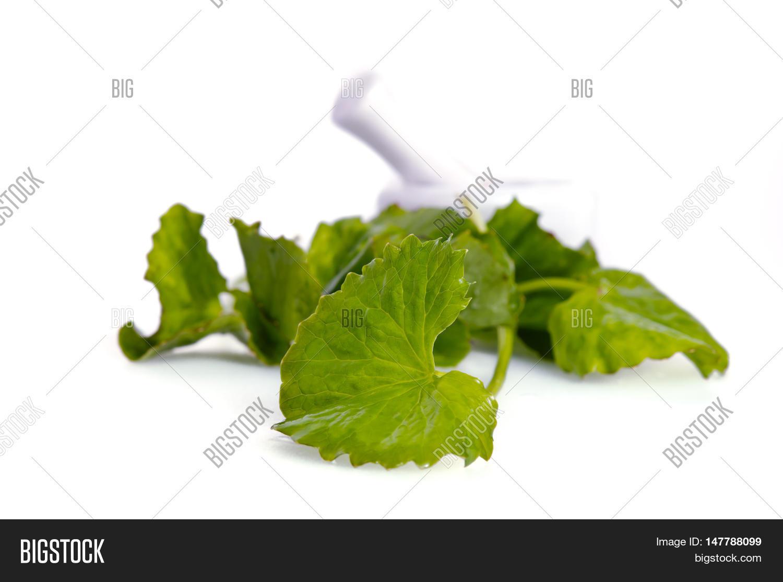 Centella Asiatica Image & Photo (Free Trial)   Bigstock