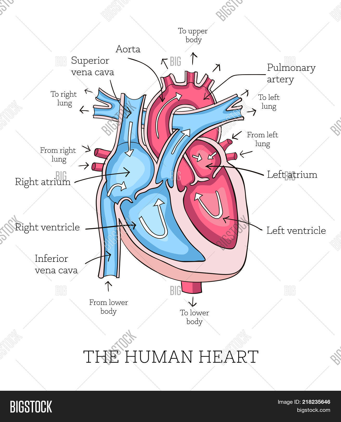 hight resolution of hand drawn illustration of human heart anatomy educational diagram showing blood flow with main parts
