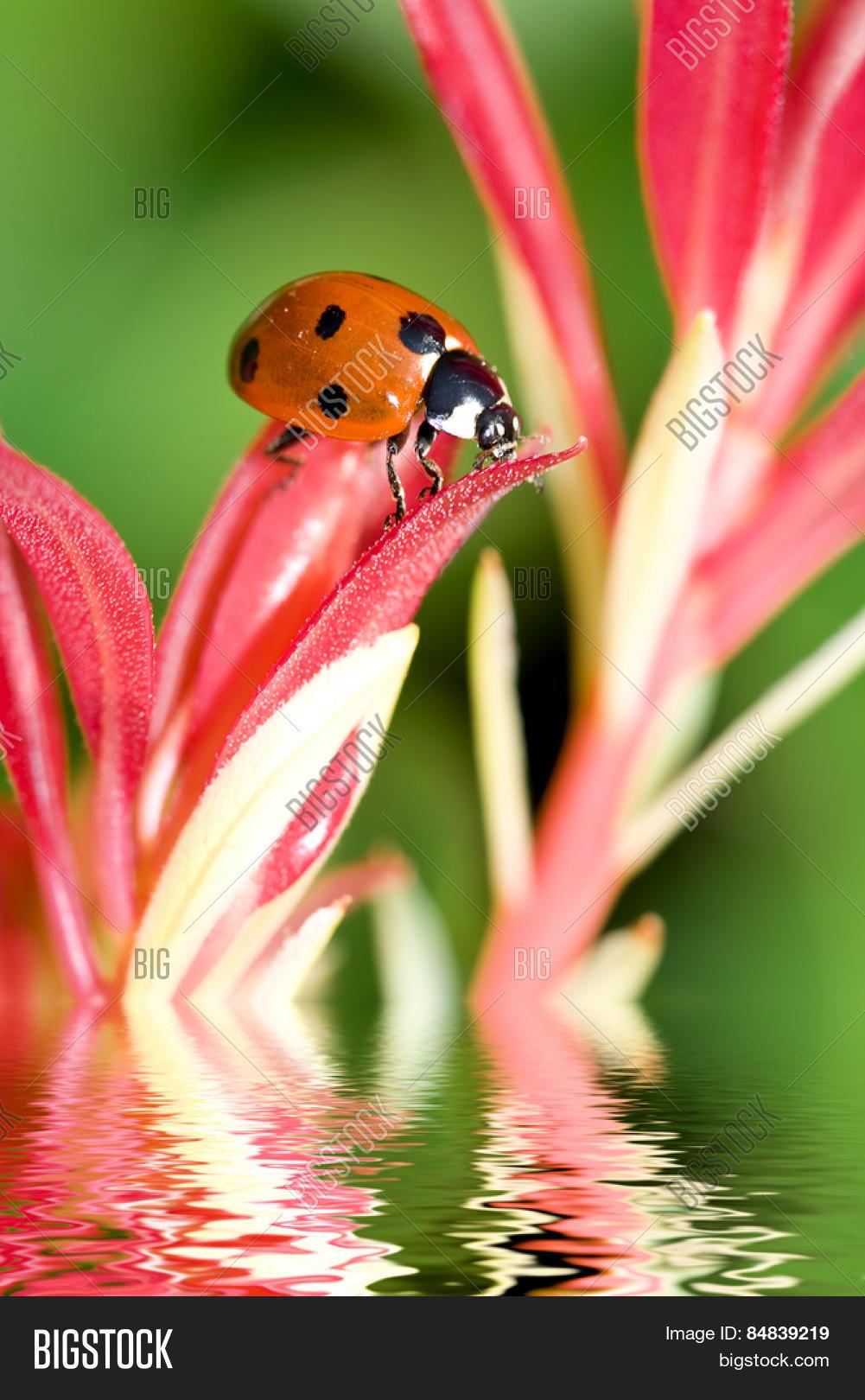 Ladybug On A Flower : ladybug, flower, Ladybug, Flower, Image, Photo, (Free, Trial), Bigstock