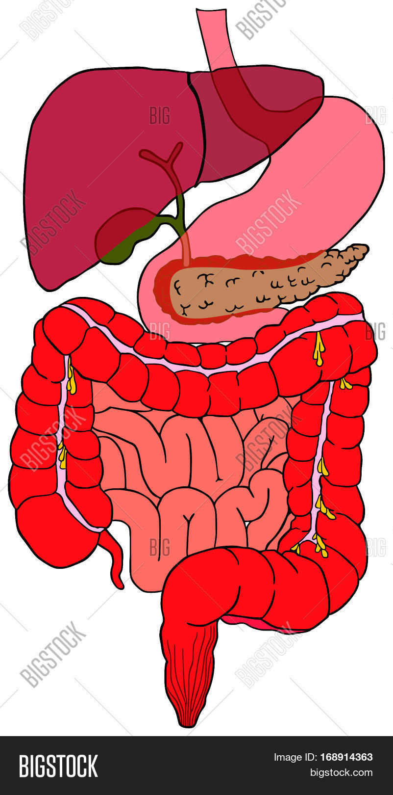hight resolution of human digestive system tract vector diagram with all parts stomach bladder liver pancreas large small intestine