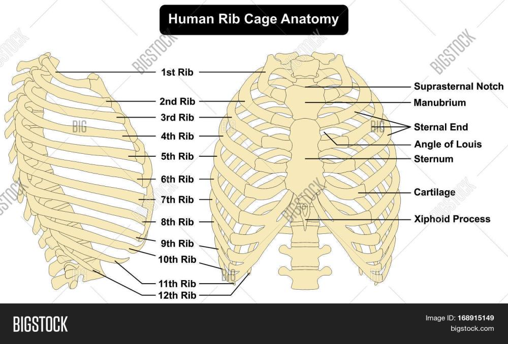 medium resolution of human body rib cage anatomy anterior and right lateral view all bones surface sternum vertebra vertebral