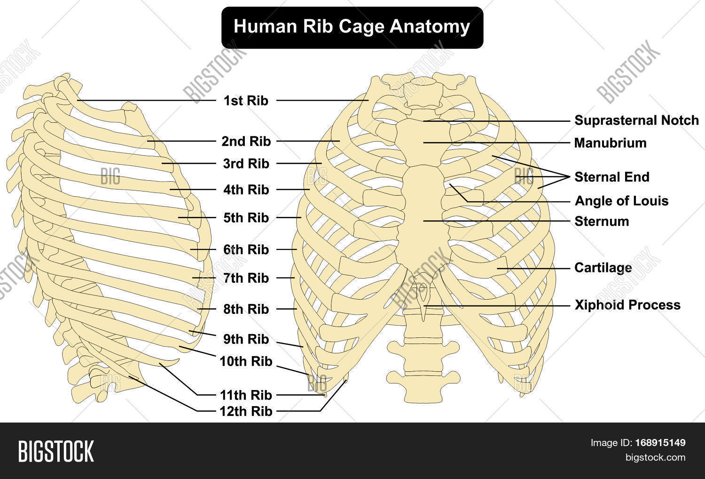 hight resolution of human body rib cage anatomy anterior and right lateral view all bones surface sternum vertebra vertebral