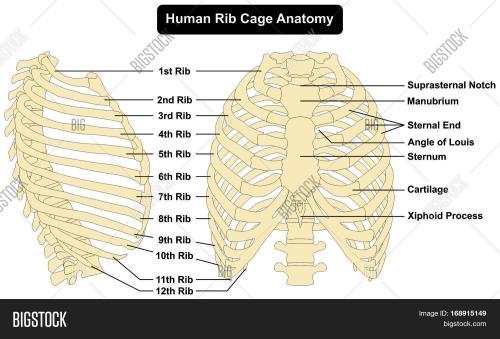 small resolution of human body rib cage anatomy anterior and right lateral view all bones surface sternum vertebra vertebral