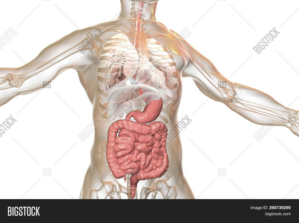 medium resolution of human body anatomy with highlighted digestive system 3d illustration