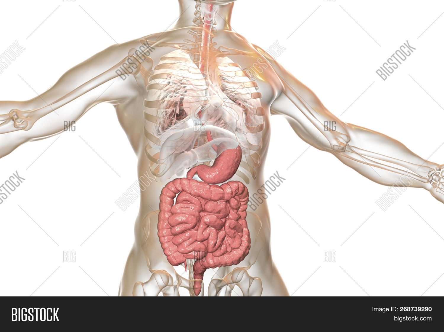 hight resolution of human body anatomy with highlighted digestive system 3d illustration