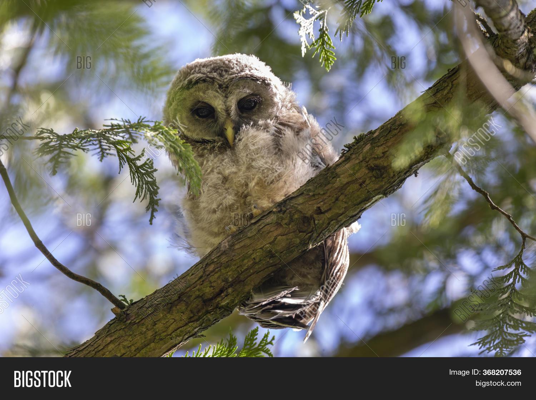 Barred Owl Nest Owlet Image & Photo (Free Trial)   Bigstock