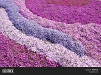 Purple, pink carpet of Phlox Subulata (creeping phlox ...