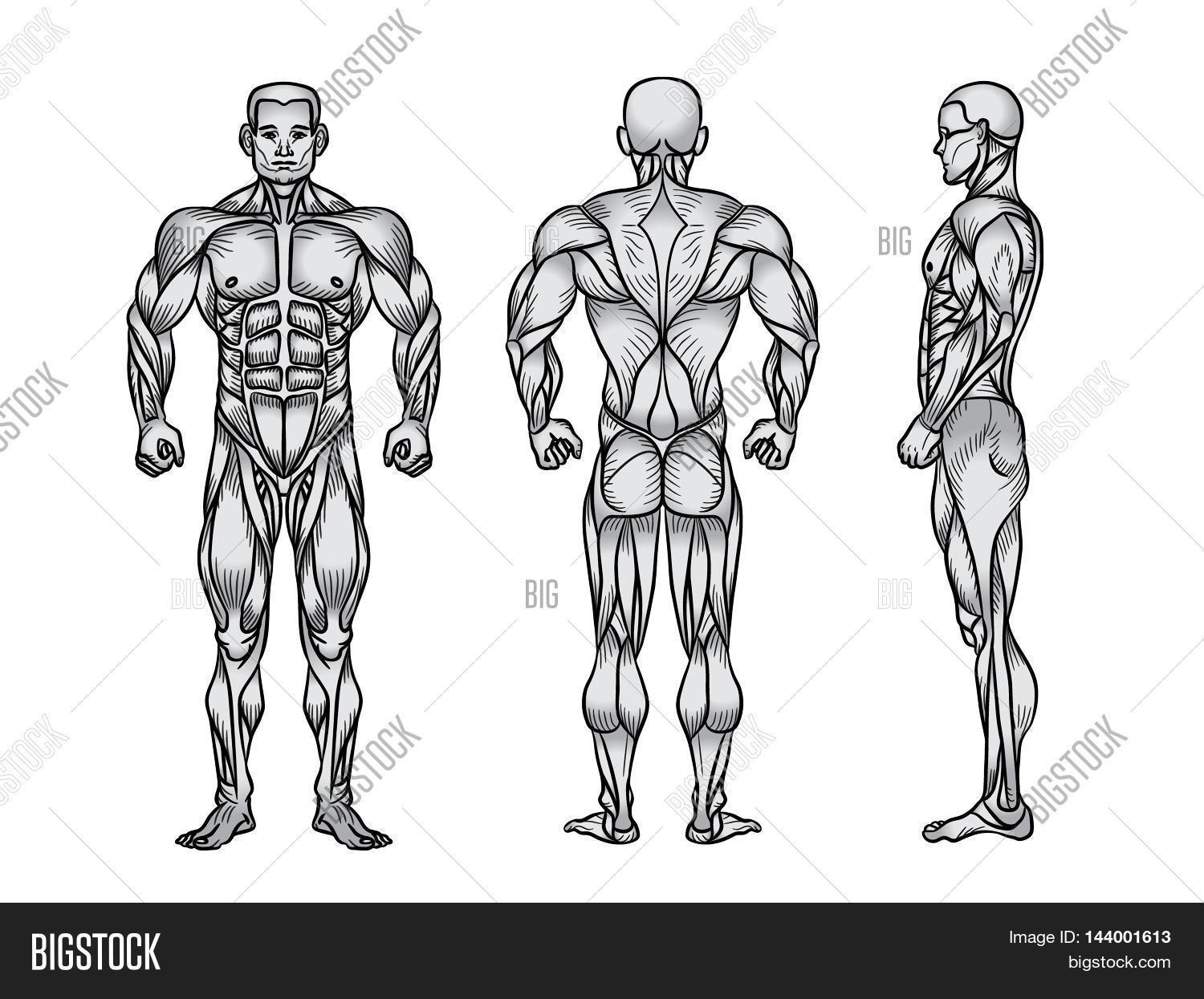 Anatomy Male Muscular System Image Amp Photo