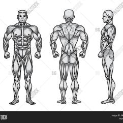 Human Muscles Diagram Labeled Front And Back Vintage Trailer Wiring Anatomy Male Muscular System Image Photo Bigstock