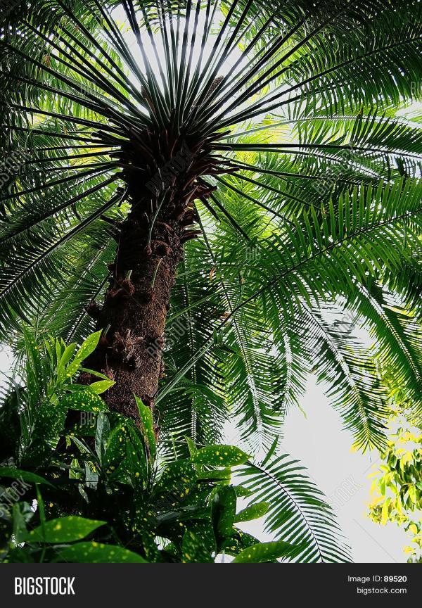 Umbrella Palm Tree & Bigstock