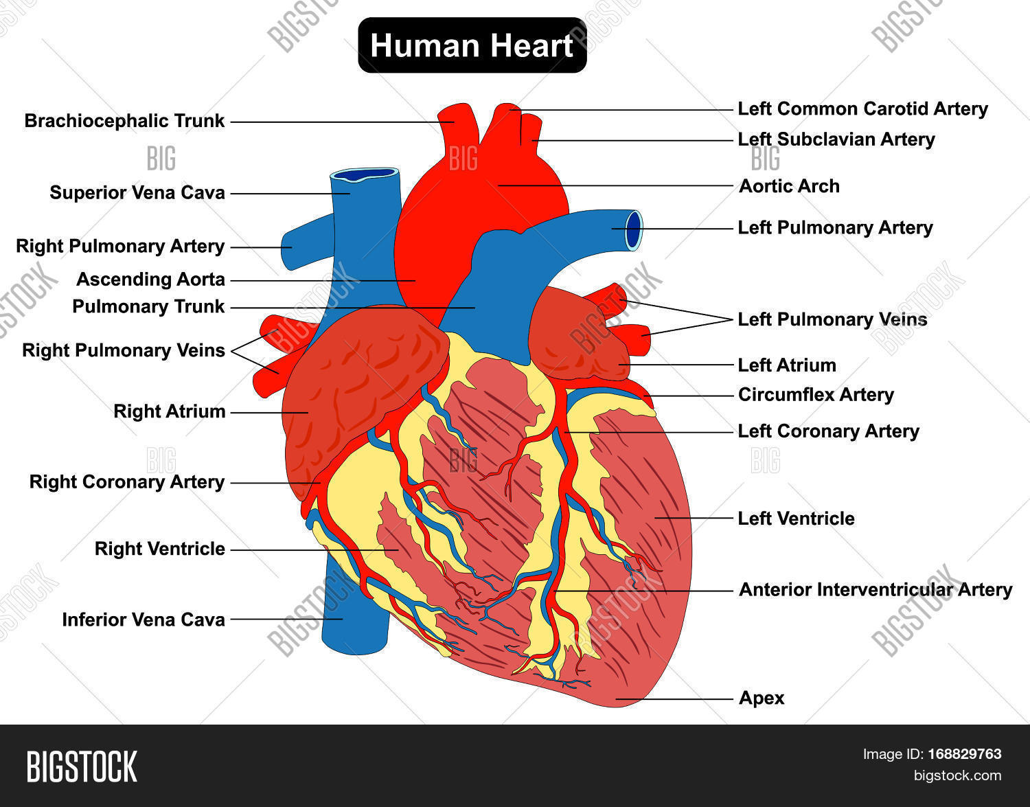 cardiac muscle tissue diagram labeled dimmer switch extension cord human heart structure anatomy infographic chart