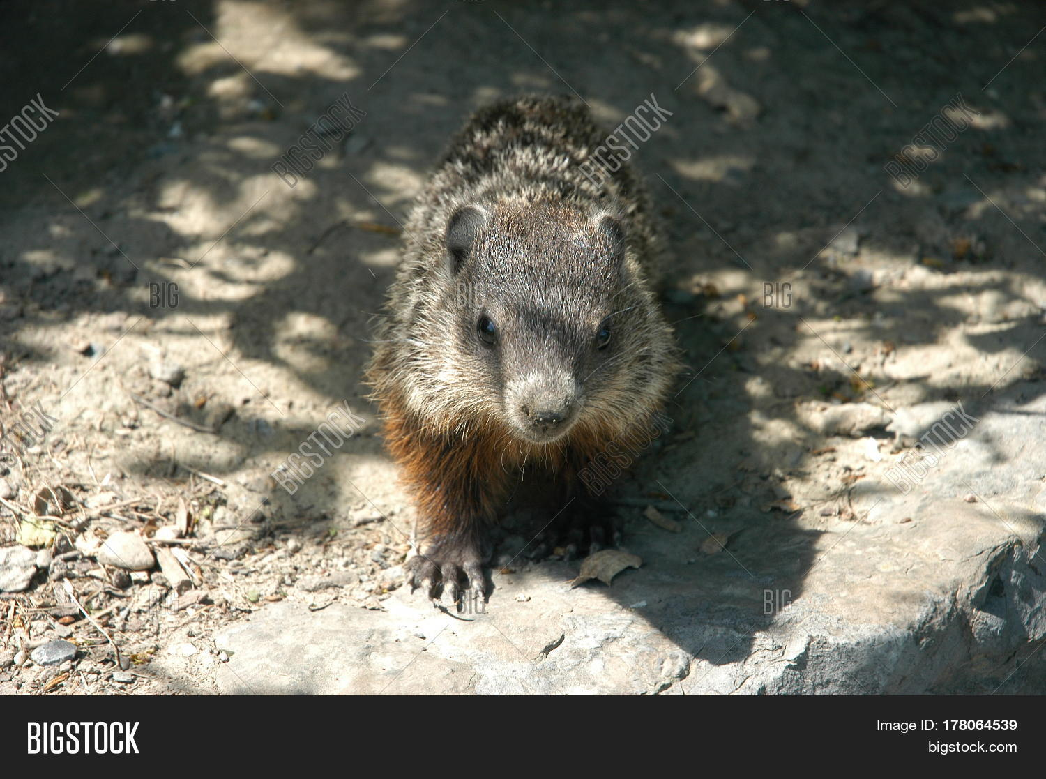 ground hog young cute animal furry rodent Stock Photo & Stock Images   Bigstock