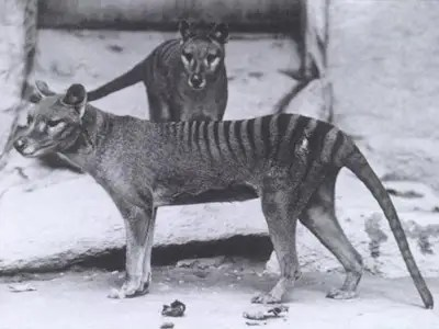 Tasmanian tiger (Extinct since 1936)