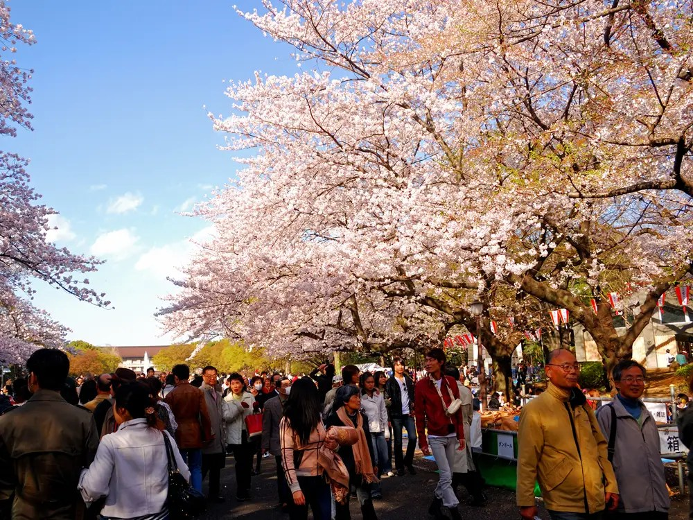Attend a cherry blossom festival in Japan.