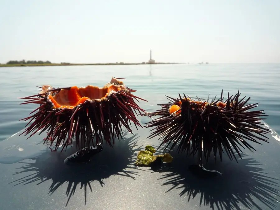 sea urchins in Italy