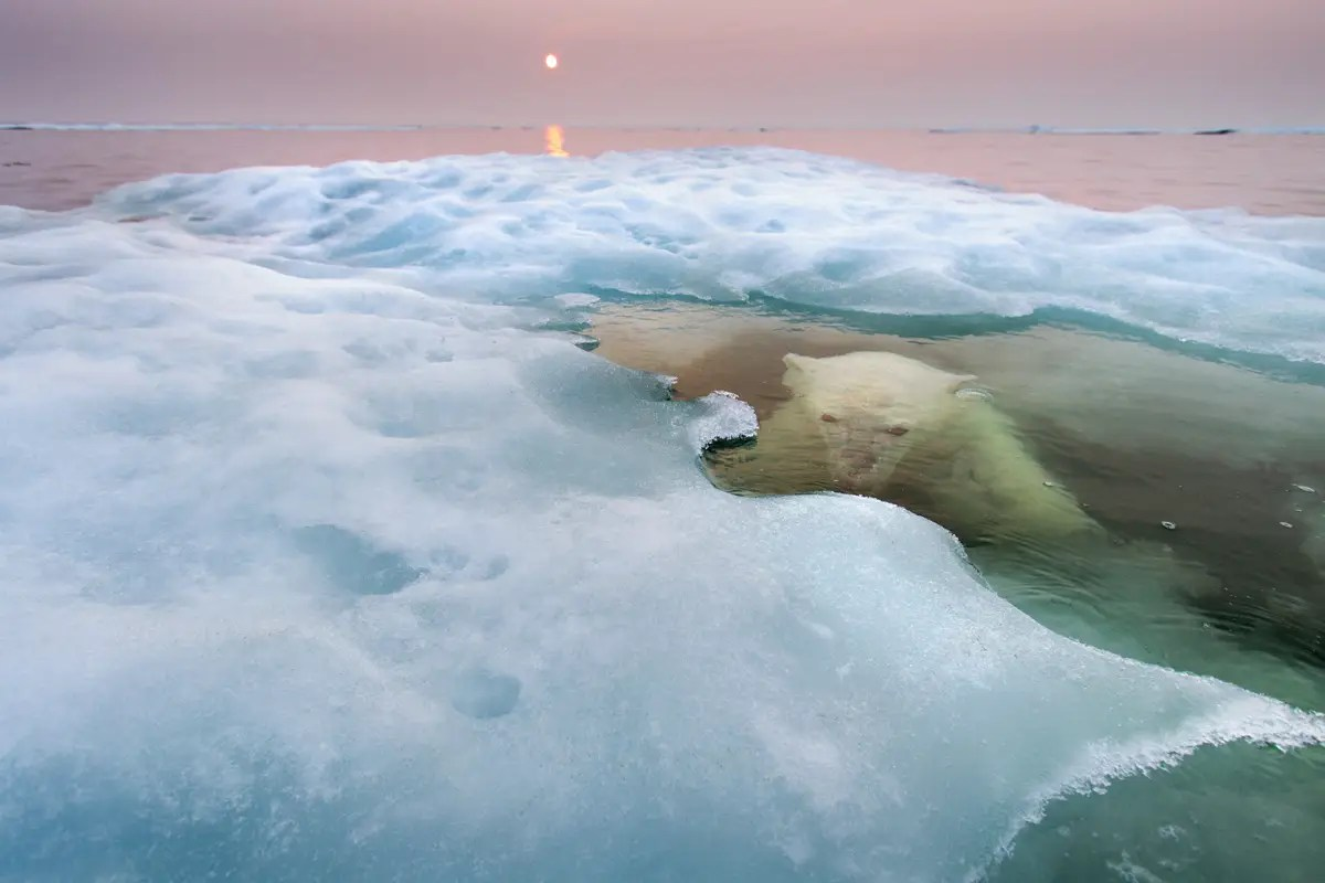 """The Water Bear"" — American Paul Souders took his Zodiac boat to Hudson Bay in Canada during mid-summer and waited patiently for this polar bear, first spotted on sea ice about 30 miles offshore, to slip into the water."