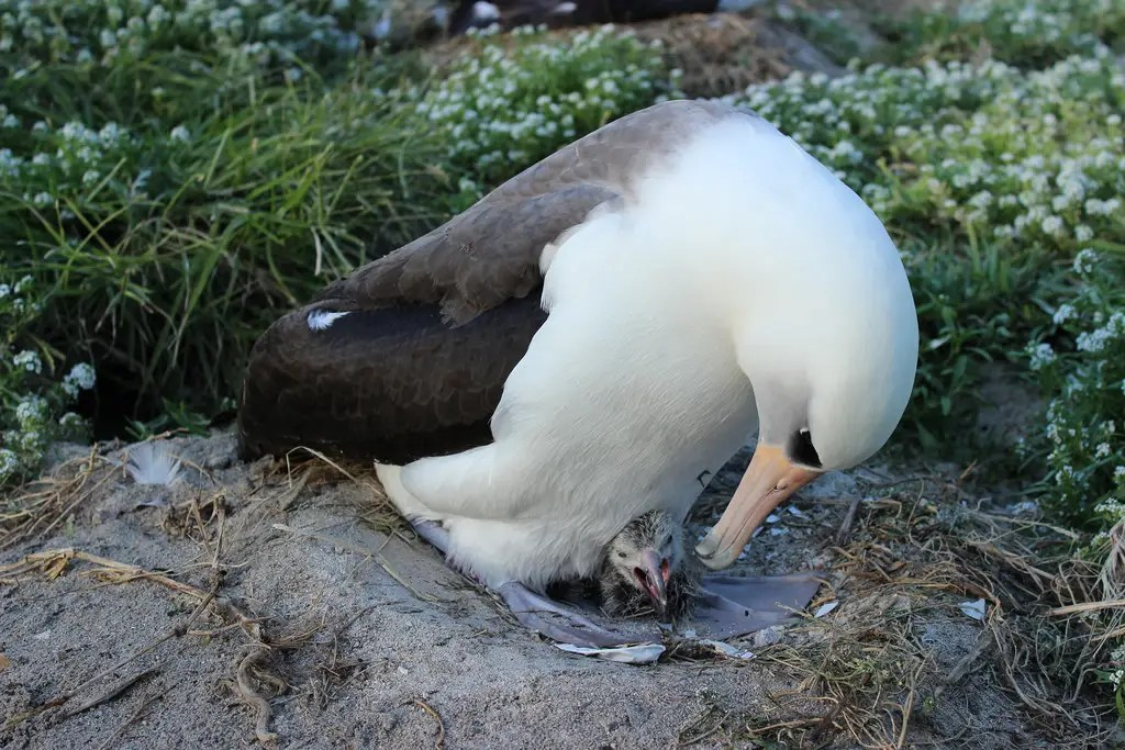 Albatross Wisdom and her baby, photo by Ann Bell/USFWS