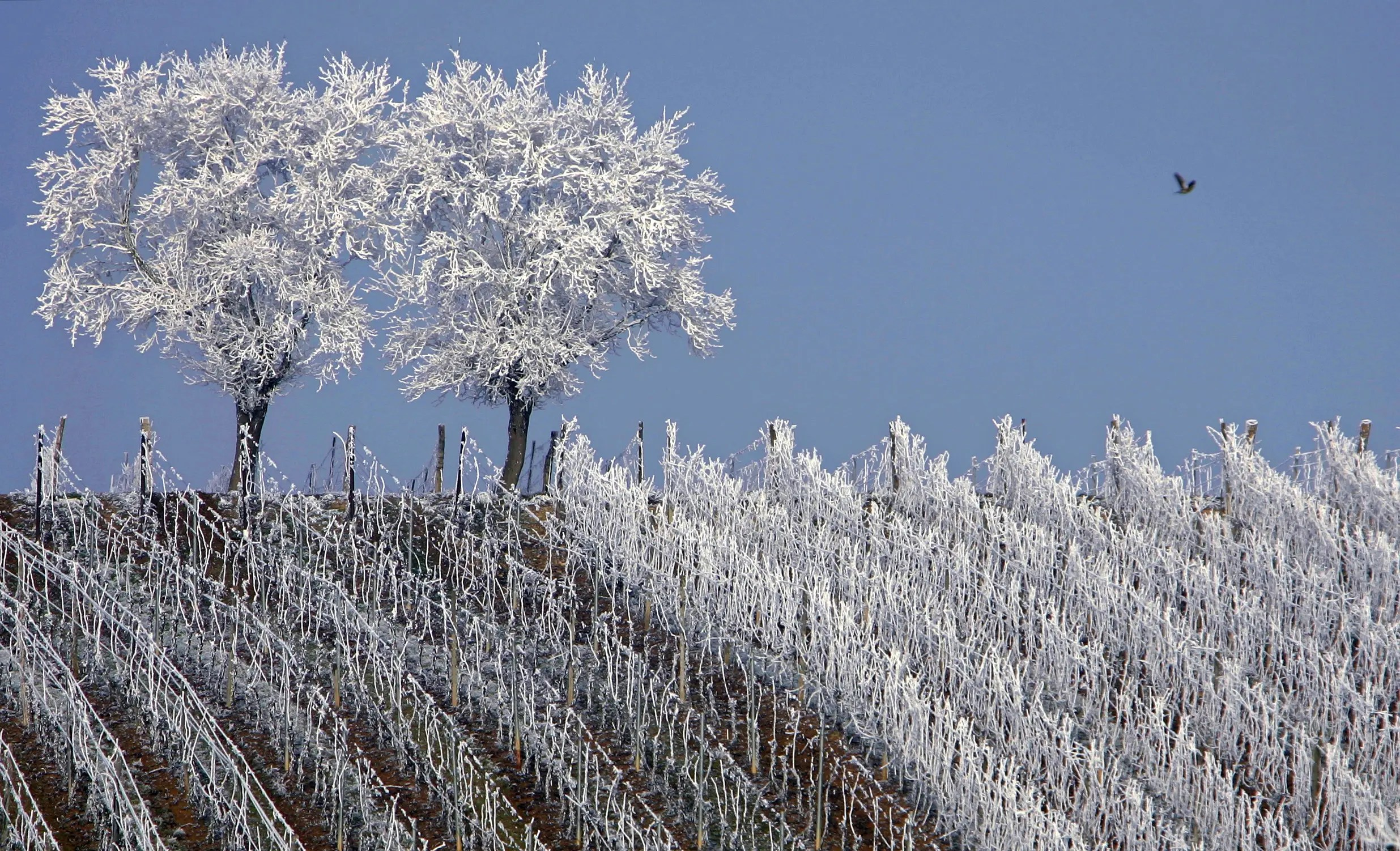 Frosted trees are seen in the middle of vineyards in the Alsace region countryside near Strasbourg, France.