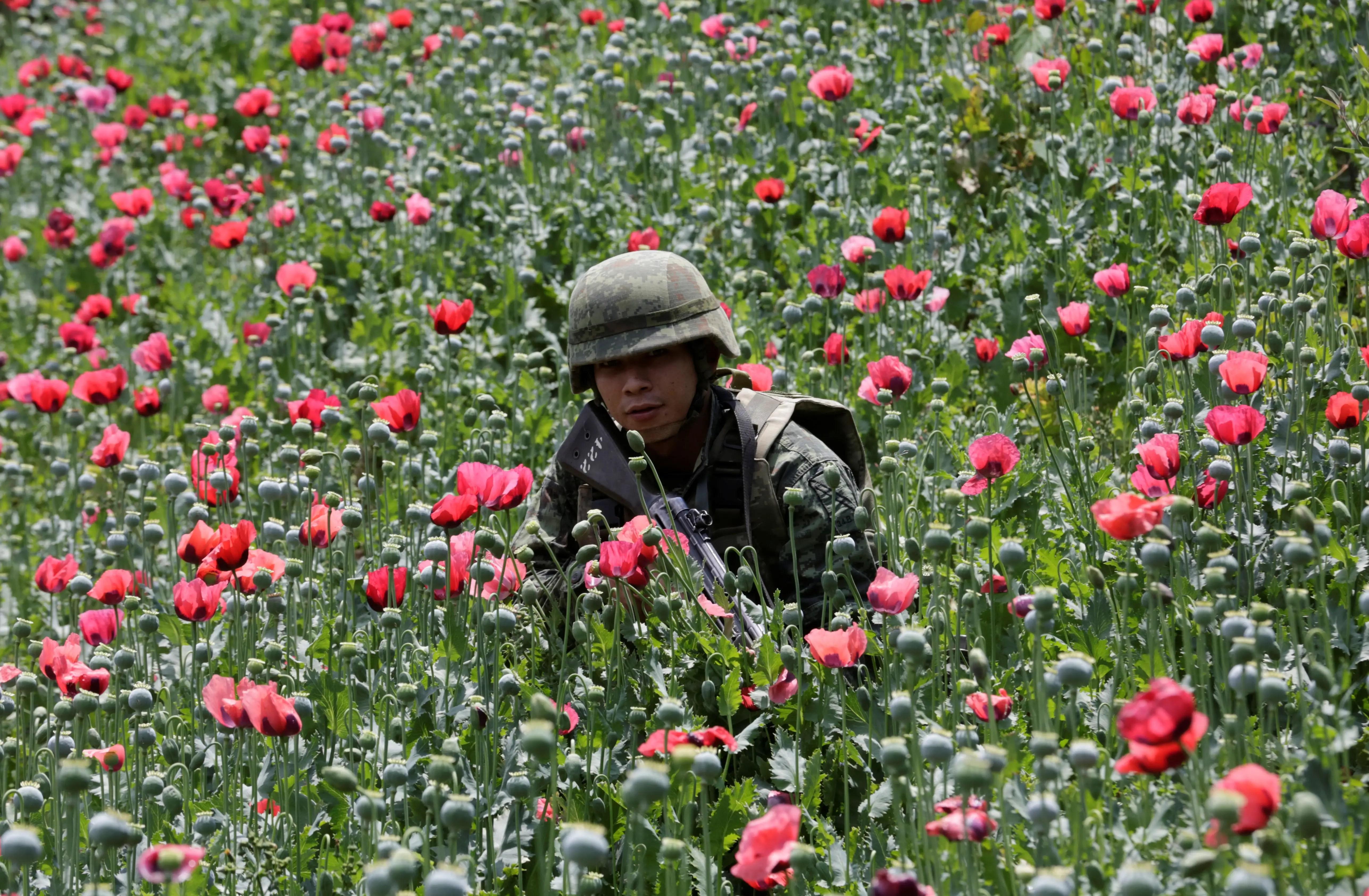 Mexico opium poppy field soldier troops
