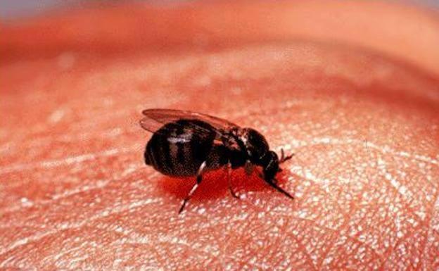 A specimen of 'bloodsucking fly'.