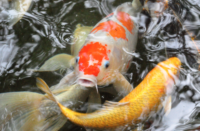 all about koi fish