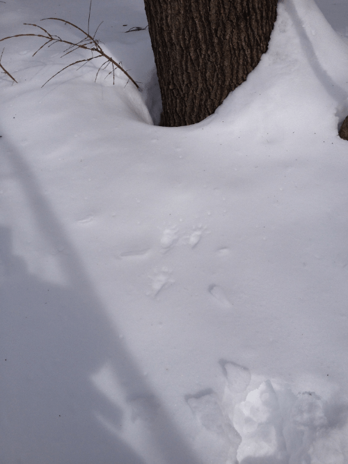 A fisher leaves paw prints in the snow