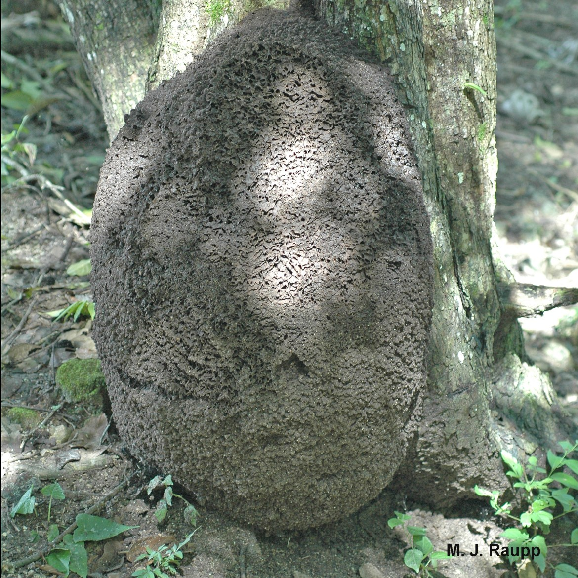 Termite nests like this one at the base of a tree contain thousands of termites.