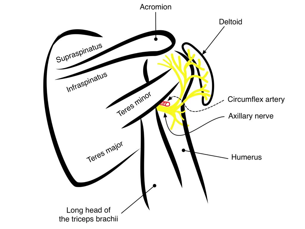 Axillary Nerve (delt) — Highland EM Ultrasound Fueled pain