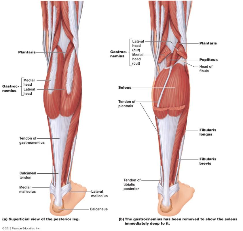 Calf Muscle Tightness, Achilles Tendon Length and Lower Leg Injury — Mountain Peak Fitness