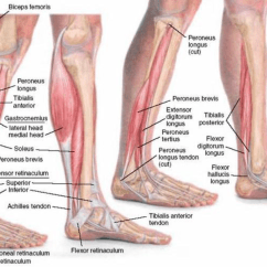 Medial Lower Leg Muscles Diagram Types Of Beams With Developing Strength Stability In The Foot Ankle And Fig 3